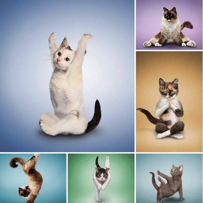 Yoga cats, Dan Borris
